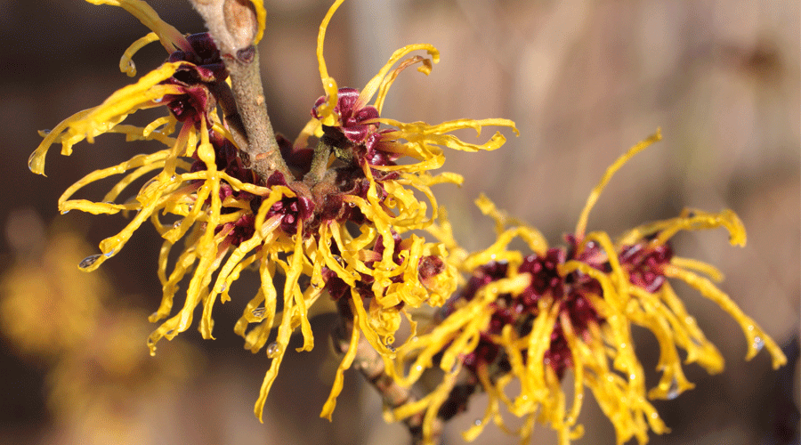 Black-Eye-Witch-Hazel